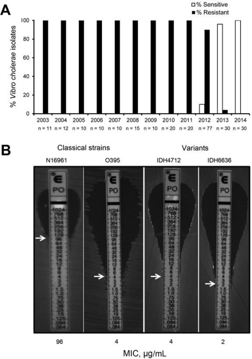 Isolation profile of polymyxin B–sensitive Vibrio cholerae strains in Kolkata, India, 2003–2014. A) Yearly occurrence of polymyxin B sensitivity and resistance in V. cholerae O1 El Tor variant strains isolated from Kolkata patients. During the study period, 255 strains were tested; n values indicate the number of strains tested each year. Polymyxin B–sensitive strains first appeared in Kolkata in June 2012. The first isolate in January 2013 was resistant, but, thereafter, all strains isolated during 2013–2014 were sensitive to polymyxin B, a biotyping marker for classical strains. B) MIC of polymyxin B in El Tor variant strains (classical and El Tor). MICs are indicated by white arrows. Polymyxin B sensitivity, a characteristic of classical strains, was displayed by El Tor variant strains. Data represent 3 biologic repetitions.