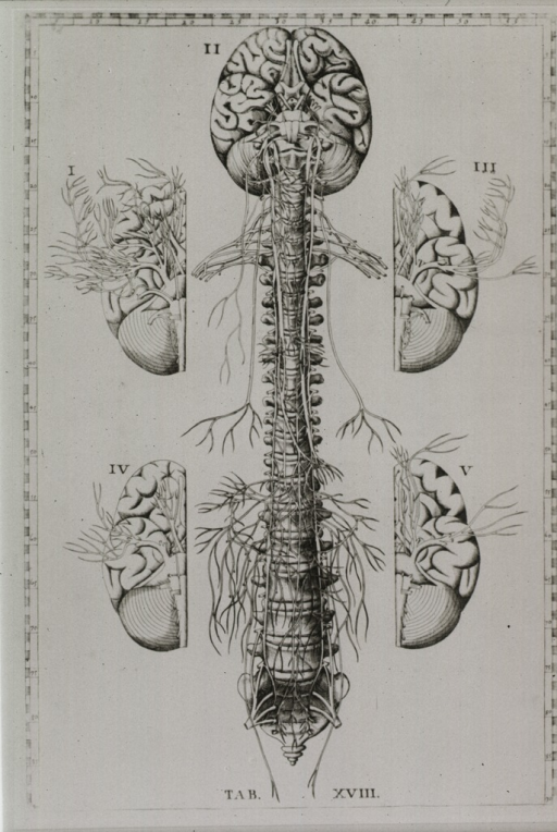 <p>The brain, spinal column, and nerves are depicted as a unit; two views of both right and left halves of the brain.</p>