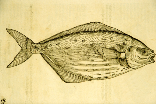 <p>Woodcut illustration of a variety of fish.</p>