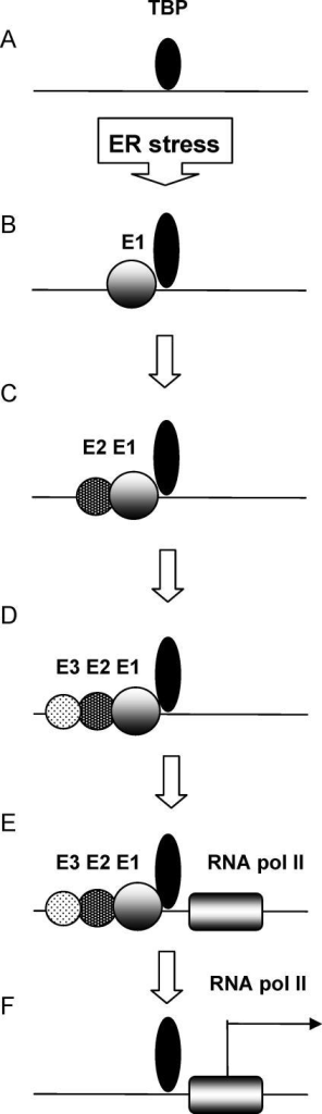 A Model Proposed for the Activation Process at the GRP78 Promoter(A) The TATA box is occupied to a high extent even before induction, probably by TBP but also other factors.(B-D) After stress induction the ERSEs are sequentially loaded, from E1 to E3 while each ERSE is occupied at a different level (indicated by the size of the circles).(E, F) Recruitment of factors to the TIS is followed by release of the transcription factors from the ERSEs.