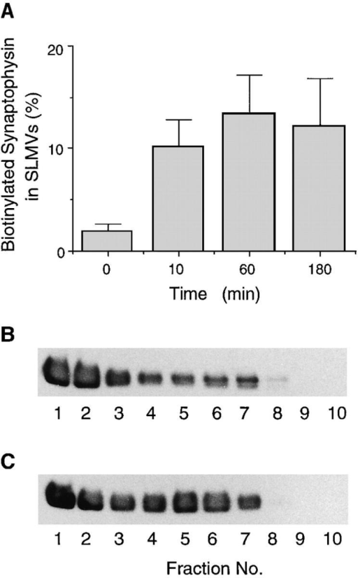 Time course of appearance of biotinylated synaptophysin in SLMVs. PC12  cells were incubated with  sulfo-NHS-LC–biotin for 5  min at 37°C and chased at  37°C for various times as indicated (A) or for 3 min (B)  and 180 min (C). The 66,000 g  (A) or 12,000 g (B and C) supernatants prepared from  the cells were subjected to  glycerol gradient centrifugation, and the fractions were  analyzed for biotinylated  synaptophysin by streptavidin–agarose adsorption followed by immunoblotting of  bound material with antisynaptophysin. (A) Synaptophysin immunoreactivity in the SLMV-containing fractions is expressed as percent of total biotinylated synaptophysin. Data are  the mean of two (0, 10, 180 min) or three (60 min) independent  experiments; bars indicate the variation of individual values from  the mean or the standard error, respectively. (B and C) Immunoblots; 2.5% (B) and 11% (C) of the total biotinylated synaptophysin was recovered in the SLMV-containing fractions (B, n 5–8;  C, n 4–8).