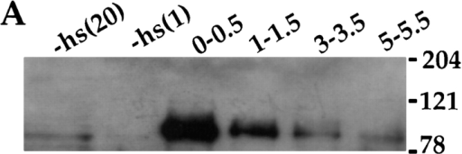 "Induction of DNA replication by  cyclin E. (A) The detection of cyclin E in salivary gland extracts by immunoblotting. cyclin  E was produced by heat-shocking feeding-stage third-instar larvae carrying the appropriate transgene. Salivary glands were dissected from control larvae (−hs lanes) or  from heat-shocked larvae at various times after heat shock (in h, indicated above each  lane). Extracts were separated on denaturing  gels and immunoblotted using a previously  characterized antiserum against cyclin E  (Sauer et al., 1995). ""−hs"" lanes contain extract from either 20 pairs or one pair of salivary glands as indicated. Each of the other  lanes contain extract from one pair of salivary  glands. The positions of molecular mass  markers, in kD, are indicated on the side. (B)  Induction of DNA synthesis by cyclin E. cyclin E was produced by heat-shocking feeding-stage third-instar larvae carrying the appropriate transgene. Salivary glands were  dissected and labeled with a nucleotide analog, BrdU, at various times after heat shock  as indicated above the lanes (min or h:min).  Incorporated BrdU was detected immunologically and DNA was stained with Hoechst  33258. −hs: no heat shock control."