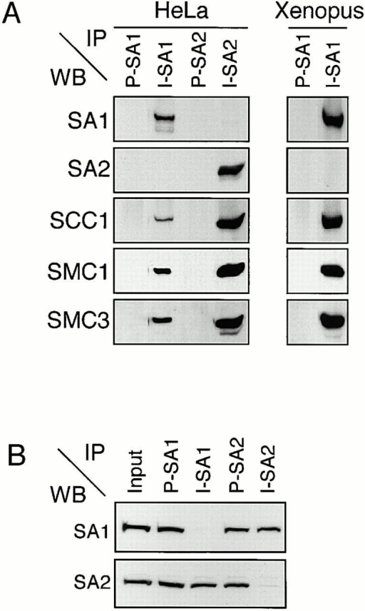 SA1 and SA2 are subunits of two distinct human 14S cohesin complexes. (A) Low-speed supernatant of extracts from logarithmically growing HeLa cells or Xenopus interphase egg extracts were analyzed by immunoprecipitation (IP) with either preimmune (P) or immune antibodies (I) against SA1 (444) or SA2 (446) and analyzed by SDS-PAGE and Western blotting (WB) with antibodies to the indicated proteins. (B) HeLa extracts were immunodepleted as in A and the resulting supernatant fractions were analyzed by SDS-PAGE and immunoblotting with SA1 (444) and SA2 (446) antibodies.