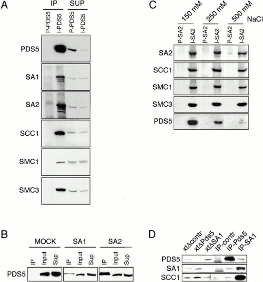 PDS5 is found in association with SA1- and SA2-containing cohesin complexes. (A) Low-speed supernatant of extracts from logarithmically growing HeLa cells was analyzed by immunoprecipitation with either preimmune (P) or immune antibodies (I) to PDS5. Immunoprecipitates (IP) and supernatants (SUP) were analyzed by SDS-PAGE and Western blotting with antibodies to the indicated proteins. (B) HeLa extracts prepared as in A were analyzed by immunoprecipitation with SA1, SA2, or with nonspecific control (MOCK) antibodies and the immunoprecipitates (IP), extracts before immunoprecipitation (Input) and supernatants (Sup) were analyzed by SDS-PAGE and Western blotting with antibodies to PDS5. (C) HeLa extracts prepared as in A were analyzed by immunoprecipitation with either preimmune (P) or immune (I) SA2 antibodies (446). After washing with buffers containing either 150, 250, or 500 mM NaCl, the immunoprecipitates were analyzed by SDS-PAGE and Western blotting with antibodies to the indicated proteins. (D) Xenopus interphase extracts were analyzed by immunoprecipitation with either nonspecific (IP-contr), Xenopus PDS5 (IP-PDS5), or SA1 (IP-SA1) antibodies. The precipitates were analyzed by immunoblotting with PDS5, SA1, and SCC1 antibodies. After immunoprecipitation with control (xtΔcontr), PDS5 (xtΔPDS5), or SA1 (xtΔSA1) antibodies the resulting supernatants were analyzed side by side. PDS5 antibody 648 was used for the IP and 647 for immunoblotting.