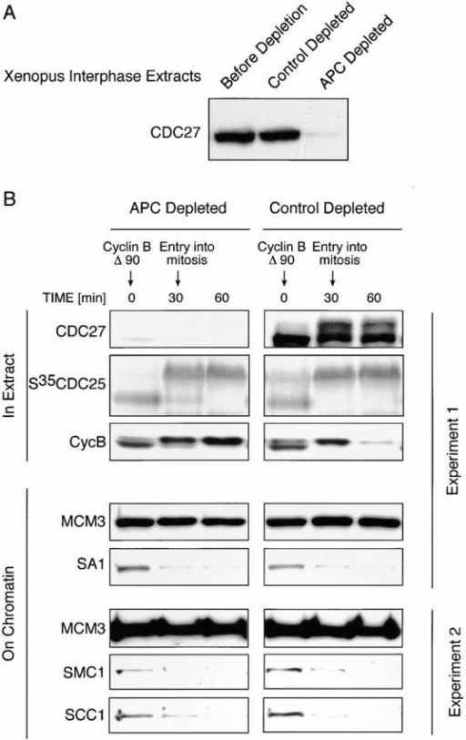 The APC is not required for the mitotic dissociation of cohesins from chromatin. (A) CDC27 immunoblot showing Xenopus interphase extract before and after depletion with either control or CDC27 antibodies. (B) APC-depleted (left) and control-depleted (right) Xenopus interphase extracts were incubated with sperm nuclei for 30 min and then nondegradable cyclin B Δ90 was added to trigger entry into mitosis. At different time points either extract samples (top) or chromatin reisolated from the reaction mixture by sucrose cushion centrifugation (bottom) were analyzed by SDS-PAGE and either PhosphorImaging (S35CDC25) or immunoblotting with antibodies to the indicated proteins (all other panels). The cell cycle state of the extracts was analyzed by monitoring the behavior of 35S-labeled CDC25 and of endogenous cyclin B. Data from two different experiments are shown. In experiment 2, the degree of APC depletion and the cell cycle behavior of the extracts were the same as in experiment 1 (data not shown).