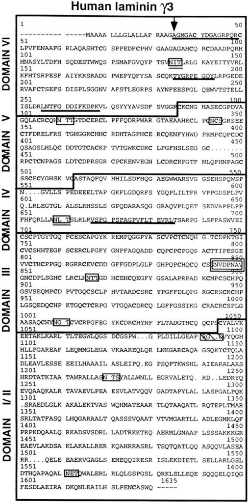 The complete amino acid sequence of human γ3 as predicted from the corresponding cDNA sequence. The amino acid  positions are numbered in accordance to the homologous locations within laminin γ1 (Pikkarainen et al., 1988). A 19–amino  acid signal sequence precedes the γ3 NH2 terminus (arrow marks  the signal peptide cleavage site). Peptide sequences obtained  from Edman analyses of the fragmented γ3t gel band (Fig. 1, Reduced) are underlined. Potential glycosylation sites are boxed,  and those conserved between γ1 and γ3 are also underlined. The  nidogen binding consensus sequence is boxed in bold type. The  sequence RGD is boxed and hatched.