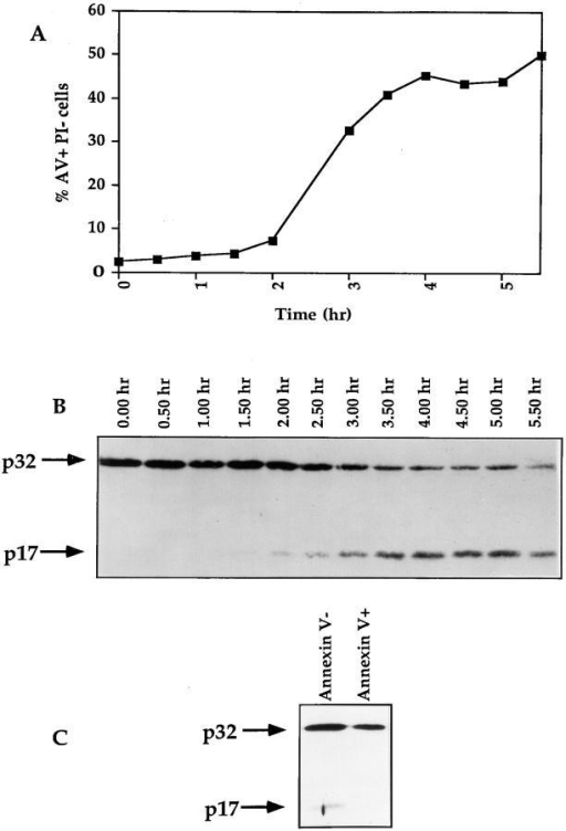 The activation of CPP32 is a very early event of thymocyte  apoptosis. (A and B) Thymocytes from C56BL/6 mice were isolated and  incubated with dexamethasone. Samples were taken at 30-min intervals  and analyzed for levels of apoptosis with annexin V-FITC and PI (A).  Cell lysates were submitted to Western blotting analysis for the processing  of CPP32 (B). (C) Thymocytes were cultured for 20 h in the presence of  immobilized anti-CD3 mAb. Cells were then labeled with annexin  V-FITC, and annexin V− and annexin V+ cells were sorted at 4°C with  a FACStar® Plus. Sorted cells were lysed and extract contents were analyzed for processing of CPP32 by Western blotting.