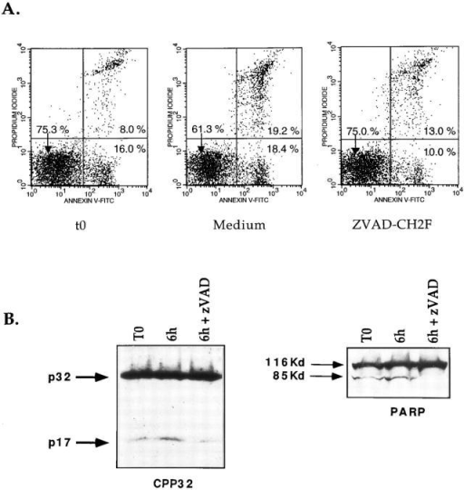 zVAD-CH2F blocks early apoptosis and CPP32 activity in  thymocytes undergoing negative selection. 3 wk-old H-2k transgenic  mice were injected with PCC. 16 h later thymocytes were isolated and  cultured with or without zVAD-CH2F. After 6 h, cells were compared  for levels of apoptosis with annexin V-FITC and PI. Cell extracts were  analyzed by Western blotting for processing of CPP32 and cleavage of  PARP.