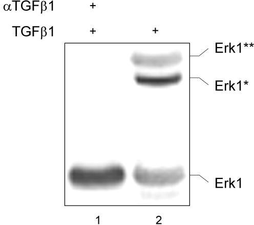 Erk1 is associated with focal adhesions. BxPC-3 cells were stimulated with 10 nM of mature TGFβ1 for ten minutes followed by preparation of the Triton-X100 nonsoluble fraction and precipitation with αVβ6 integrin antibodies. The precipitate was then re-precipitated with anti-FAK antibodies (sc-1688) and analyzed with an Erk1 antibody (sc-93). In part, the cells were preincubated with a TGFβ1 antibody [10].