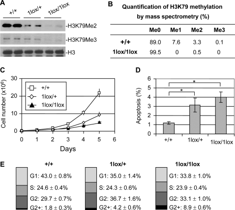 Phenotypic analysis of Dot1L mutant ES cells.(A) Western blot analysis using extracts from ES cell lines of the indicated Dot1L genotypes and antibodies specific for di-, and tri-methylated H3K79. Total histone H3 was used as a loading control. (B) Analysis of H3K79 methylation by mass spectrometry. Quantification of different forms of H3K79 methylation was obtained by comparing the extracted ion chromatogram (EIC) intensity of the ion signals corresponding to the unmodified (Me0), mono-methylated (Me1), di-methylated (Me2), and tri-methylated (Me3) K79-containing peptides. (C) The proliferation of Dot1L+/+, Dot1L1lox/+ and Dot1L1lox/1lox ES cells was determined by doing cell counts every 24 hours for five days. Cells were grown in triplicate, and data shown is representative of three independent experiments. (D) The percentages of apoptotic cells in Dot1L+/+, Dot1L1lox/+ and Dot1L1lox/1lox ES cell cultures. The asterisk indicates P<0.05 (Student t-test). ES cells were stained with propidium iodide (PI) and PE conjugated anti-annexin V antibodies and analyzed by FACS. Apoptotic cells were annexin V positive and PI negative. Cells were grown in triplicate, and data shown are representative of two independent experiments. (E) The percentages of each cell cycle stage in Dot1L+/+, Dot1L1lox/+ and Dot1L1lox/1lox ES cell cultures as determined by PI staining and FACS.