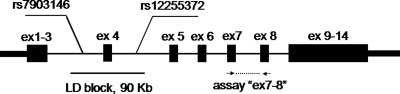 Location of expression assay 'ex7–8' and associated LD block with SNPs rs7903146 and rs12255372 within TCF7L2 gene, exons are marked as black rectangles.