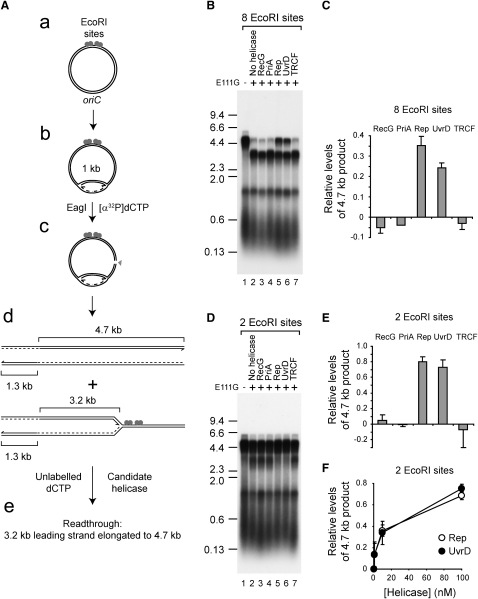 Rep and UvrD Promote Replication Fork Movement through EcoRI E111G-DNA Complexes In Vitro(A) Relative positions of oriC and EcoRI sites within plasmid templates, the site of cleavage by EagI, and the predicted sizes of leading strand products generated with and without replication blockage.(B) Denaturing agarose gel of replication products from pPM594 with and without E111G in the presence of the indicated helicases/translocases.(C) Levels of the 4.7 kb leading strand generated from pPM594 in the presence of E111G and the indicated enzymes relative to control reactions in lanes 1 and 2 in (B).(D) Replication products with pME101.(E) Levels of the 4.7 kb leading strand generated with pME101, plus E111G and the indicated enzymes relative to control reactions in lanes 1 and 2 in (D).(F) Relative levels of the 4.7 kb leading strand generated with pME101 plus E111G at increasing concentrations of Rep and UvrD. E111G was present at 200 nM dimers in all assays, while helicases/translocases were at 100 nM unless indicated otherwise. Error bars represent standard deviation of the mean.