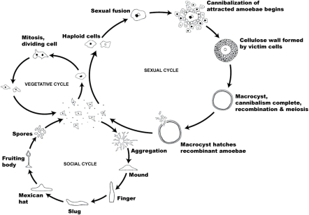 The life cycle of dictyostelium discoideum most of its for Soil life cycle