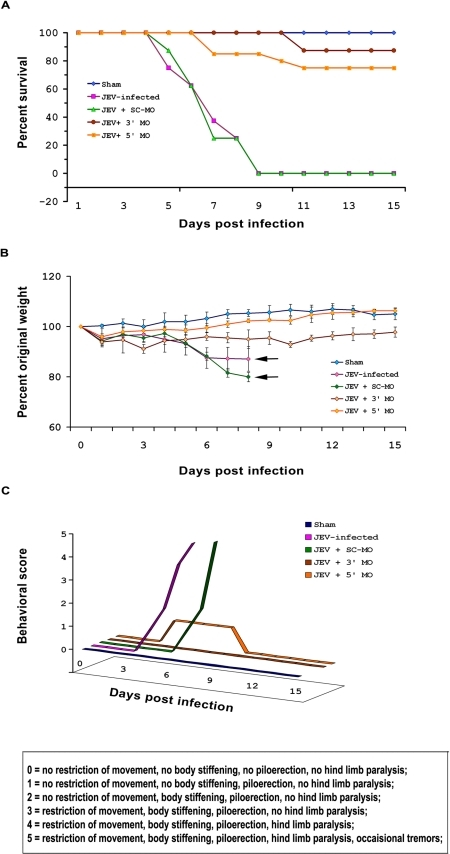 Mice are protected from JEV following MO treatment.The survival of mice following JEV infection was dramatically increased with treatments of both 3′ and 5′ MO, though the survival in 3′ MO treated mice was greater (∼90%) than those treated with 5′MO (75%) (A). Considerable changes in the average body weights of JEV-infected animals treated with both 3′ and 5′ MO were not observed when compared to animals belonging to JEV and JEV+ SC-MO groups that showed significant reductions in their body weights from 6th day post infection till their death. Black arrows points to the days by which all the animals died. (B). Infection with JEV was accompanied with distinct symptoms that were alleviated following treatments with both 3′ and 5′ MO. Animals were assigned scores according to the symptoms, in a blinded manner. The graph was plotted by taking the scores of one animal that was considered as the representative of that group (C). n = 8 for all experiments; data shown are representative of duplicate sets of experiments.