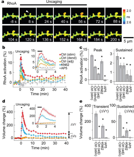 Spatiotemporal dynamics of RhoA activation during long-term structural plasticity induced in single spinesa, Fluorescence lifetime images of RhoA activation during spine structural plasticity induced by 2-photon glutamate uncaging. Arrow heads indicate the stimulated spine. Warmer colours indicate shorter lifetimes and higher RhoA activity. Scale bar, 5 μm.b, Time course of RhoA activation measured as a change in the fraction of mEGFP-RhoA bound to mCherry-RBD-mCherry in stimulated spines (stim), the dendritic shaft beside the stimulated spines (dend; within 1 μm), and adjacent spines (adj; between 3–5 μm of the stimulated spines). Data using pharmacological inhibitors (Ctrl, control condition; KN62, CaMKII inhibitor; AP5, NMDA receptor inhibitor) are also shown. Inset: closer view. The numbers of samples (spines/neurons) are 35/29 for stimulated spines and dendrites, 29/26 for adjacent spines, 16/10 for KN62 and 8/5 AP5. Error bars are s.e.m.c, Transient (averaged over 16–64 s) and sustained (averaged over 20–38 min) RhoA activation. Stars denote statistically significant difference (< 0.05) from the value in the stimulated spines under control condition. Wilcoxon signed-rank test was used for dendrites and adjacent spines, and ANOVA followed by post-hoc tests using the least significant difference was used for experiments with pharmacological inhibitors.d, Averaged time course of spine volume change in the same experiments in b.e, Transient (volume change averaged over 1.5–2 min subtracted by that over 20–38 min) and sustained volume change (volume change averaged over 20–38 min).
