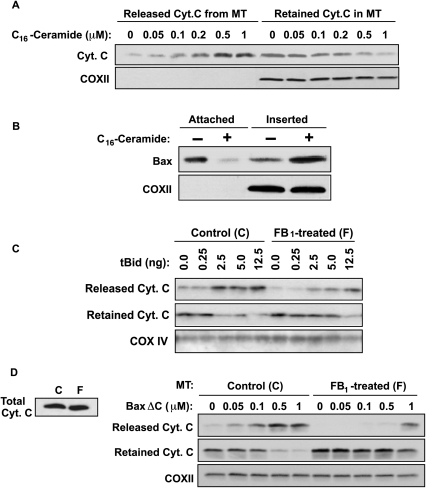 Effect of C16-ceramide on MOMP in isolated HeLa mitochondria.(A) Ceramide induces cytochrome c release from isolated HeLa mitochondria. C16-ceramide (0–1 µM) was incubated with HeLa mitochondria (1 µg/µl) in MSB buffer. After 1 h at 30°C, samples were centrifuged at 14,000×g for 5 min at 4°C to separate released (supernatant) and retained (pellet) mitochondrial proteins, and analyzed for cytochrome c release by immunoblotting using anti-Cyt.c and anti-COXII as loading control. Data are from 1 of 4 investigations. (B) Ceramide induces insertion of endogenous Bax into HeLa mitochondrial membranes. Isolated mitochondria were incubated with 1 µM C16-ceramide and mitochondrial pellets were collected after incubation as in (A). Attached and inserted Bax were separated by alkali extraction of mitochondrial pellets as in Figure 2B and analyzed by Western blot with anti-Bax and anti-COXII as loading control. Data are from 1 of 4 investigations. (C) FB1 inhibits tBid-induced cytochrome c release. Isolated HeLa mitochondria were incubated with 0.25–12.5 ng of caspase-8 cleaved human Bid for 30 min and cytochrome c release was analyzed as in (A). Data represent one of three similar studies. (D) FB1 inhibits BaxΔC-induced cytochrome c release. HeLa mitochondria, replete (control) or depleted of ceramide (from 35 µM FB1-pretreated cells), were incubated with BaxΔC (0–1 µM) for 30 min and cytochrome c release was analyzed as in (A). The left panel shows the cytochrome c content of mitochondria isolated from FB1-pretreated cells was not different than that from untreated HeLa cells. Data are from 1 of 5 investigations.