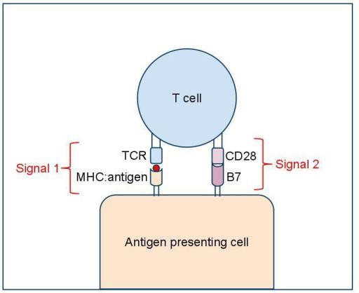 Simultaneous engagement of the TCR with its cognate antigen (red circle) and of the B7 molecule with its receptor (CD28) respectively provide the first and second signals required for T cell activation.
