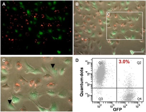 Co-culture of QD-labelled KSC and KSC-GFP cells showed minimal QD transfer.A–C) Following 24 h co-culture, very few GFP+ cells were labelled with QDs (arrowheads in C); A) QD+ cells (red); GFP+ cells (green); B) phase contrast and fluorescence overlay; C) Zoom of boxed area in B. D) Flow cytometric analysis shows that following 24 h of co-culture, only 3% (+/−0.09%) of cells were GFP+QD+; n = 3.