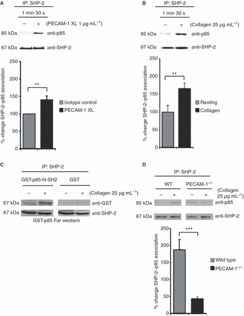 Platelet endothelial cell adhesion molecule-1 (PECAM-1) regulates the association of p85 with SHP-2. Washed human platelets (A, B) and platelets derived from PECAM-1-deficient and wild-type (WT) mice (D) were treated with EGTA (1 mm), apyrase (2 U mL−1) and indomethacin (10 μm) prior to PECAM-1 stimulation by antibody crosslinking (XL) (A) or stimulation with collagen for 90 s (B, D). The levels of p85 associated with SHP-2 were detected before equivalent protein loading was verified by reprobing for Src homology 2 domain-containing protein tyrosine phosphatase-2 (SHP-2). (C) Far-western blotting for SHP-2–p85 interaction was performed on lysates of cells stimulated with collagen (25 μg mL−1) for 90 s, resolved by sodium dodecylsulfate polyacrylamide gel electrophoresis and transferred to poly(vinylidine difluoride) membranes. The membranes were incubated with glutathione-S-transferase (GST) fusion protein containing the N-terminal SH2 domain of p85 (GST–p85-N-SH2) or GST control, followed by anti-GST and secondary antibodies. Blots were washed and incubated for 2 h with horseradish peroxidase-conjugated anti-goat IgG antibody (1 : 8000), and signals were detected by chemifluorescence. Numerical data represent the percentage change of SHP-2–p85 association in stimulated samples as compared with the control (mean ± standard error of the mean; n = 4). t-test: **P ≤ 0.01 and ***P ≤ 0.001. IP, immunoprecipitation.