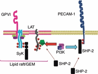 Working model for the modulation of collagen-stimulated phosphatidylinositol 3-kinase (PI3K) signaling and platelet function by platelet endothelial cell adhesion molecule-1 (PECAM-1). Homophilic ligand binding or clustering of PECAM-1 or glycoprotein (GP)VI activation by collagen results in stimulation of tyrosine phosphorylation of the immunoreceptor tyrosine-based inhibitory motifs present in the cytoplasmic tail of PECAM-1. This results in the recruitment and activation of the tyrosine phosphatase Src homology 2 domain-containing protein tyrosine phosphatase-2 (SHP-2). Collagen stimulation of platelets results in the formation of a complex between PI3K and the adaptor protein Grb-2-associated binding protein-1 (Gab1), which also binds to linker for activation of T cells (LAT), forming a signaling complex. SHP-2 is also capable of joining this complex, an interaction that is enhanced in the absence of PECAM-1 signaling. The stimulation of PECAM-1 results in the recruitment of p85 to bind to PECAM-1. The ability in vitro of SHP-2 to directly interact with p85 suggests that the interaction of p85 and PECAM-1 is mediated indirectly by the phosphatase. Indeed, the interaction between SHP-2 and p85 is dramatically reduced in the absence of PECAM-1, suggesting that PECAM-1 controls this interaction. Consistent with studies in another cell types where SHP-2 disrupts Gab1 and p85 interactions, through dephosphorylation of a tyrosine required for binding, the absence of PECAM-1 results in stabilization of the interaction between Gab1 and p85. This indicates that PECAM-1 signaling results in the loss of PI3K from the LAT signalosome and reduced levels of PI3K signaling. The relative redistribution of p85 from the LAT signalosome may be correlated with the inhibition of PI3K signaling. This provides a mechanism by which the activation of PECAM-1 results in negative feedback to activation pathways. GEM, glycolipid-enriched membrane; Syk, spleen tyrosine kinase.