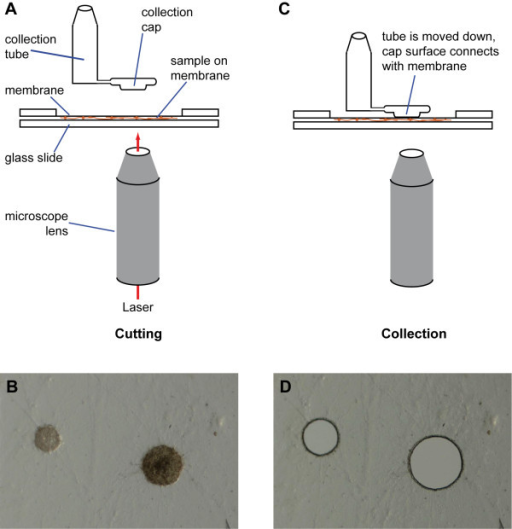 Laser microdissection of protoperithecia. Mycelia were grown on special membrane slides and fixed in ethanol. After drying of the slides, samples were covered with a glass slide (A) and visualized on an inverted microscope (B). Selected regions containing protoperithecia were cut with a UV laser through the microscope lens. To collect the cut out regions, the cap of a special collection tube was lowered onto the sample (C) where the membrane (with the sample attached) stuck to the cap and could be lifted off when the cap was raised again. Effective collection was indicated by corresponding holes in the samples (D).
