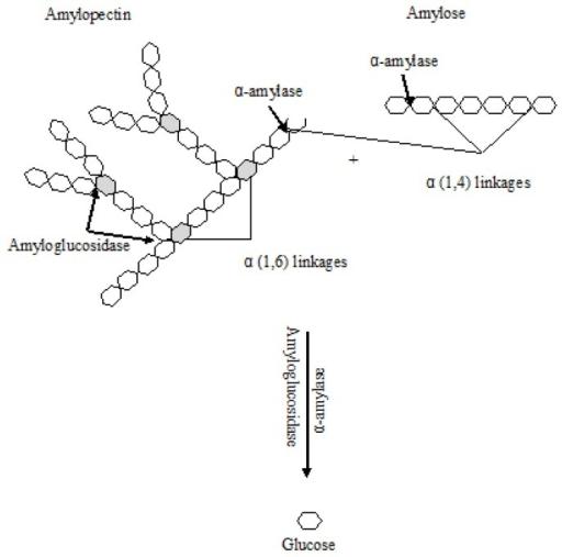 starch degradation by amylase