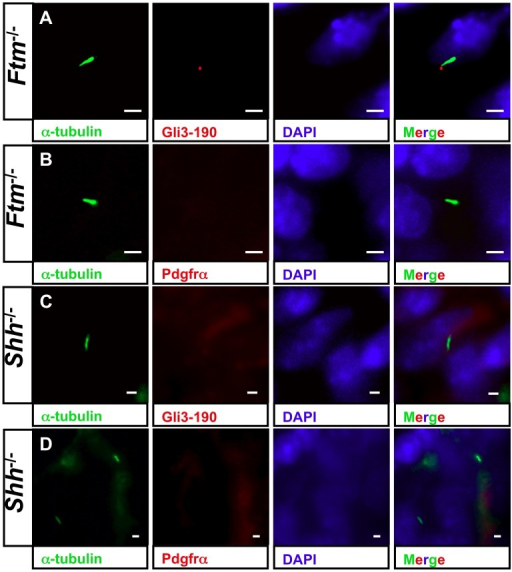 Shh signaling acts upstream of Pdgfrα signals in cardiac cilia.(A–D) Immunofluorescence on transverse heart sections at E11.5. Cilia are stained in green by acetylated α-tubulin and cell nuclei in blue by DAPI. Scale bars (in white) represent a length of 2 µm. (A) Gli3-190 (red staining) still shows a ciliary localisation in ventricular Ftm−/− cilia. (B) Pdgfrα (red staining) is absent in cilia of Ftm-deficient ventricles. (C) Gli3-190 protein is not observed at cilia of Shh−/− ventricles. (D) Pdgfrα cannot be detected in cilia of Shh-negative ventricles.