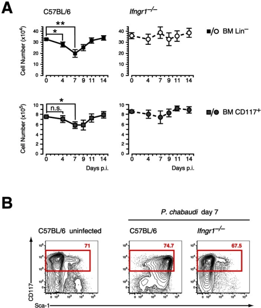 Contraction of lineage negative cell and Sca-1 upregulation in malaria are dependent on IFN-γ signaling.A. Reduction of LIN− and c-Kit (CD117) positive cells in the BM during infection of C57BL/6 mice with P. chabaudi. Significant contraction of absolute numbers was recorded at day 4 and day 7 after infection for LIN− cells and at day 7 for c-Kit+ cells. Ifngr1- mice did not undergo any significant loss of LIN− or c-Kit+ BM cells during acute malaria. Data represent mean ± SEM of cell number per femur/pair obtained from 15 infection experiments (C57BL/6) or four experiments (Ifngr1- mice) each with 4–5 mice per group (*:P≤0.05; **: P≤0.01, Mann-Whitney U-test). B. LIN− BM cells from uninfected controls and malaria-infected animals at day 7 of infection with P. chabaudi were co-stained with c-Kit and Sca-1. Of note is the lack of Sca-1 upregulation on Ifngr1­ cells during acute malaria. Data are representative for 19 infection experiments (C57BL/6) or four experiments (Ifngr1- mice) each with numbers in individual plots indicating the frequency (in %) of the respective population.