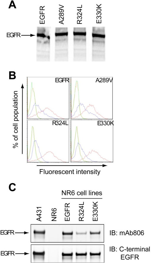 Biochemical characterization of mutant epidermal growth factor receptor (EGFR). (A). wtEGFR and mutant EGFR were translated into 35S-cysteine labelled proteins in a cell free expression system and labeled proteins detected by autoradiography following SDS-PAGE; (B). NR6 cells expressing wtEGFR or mutant EGFR were stained with secondary antibody alone (green), isotype control antibody (orange), mAb528 (red) or mAb806 (blue) and subjected to Fluorescence Activated Cell Sorting (FACS) analysis. The representative profiles for each cell line are shown; (C). wtEGFR or mutant EGFR cells were grown under serum free conditions, lysed and IP'd using mAb528. Western blot analysis of total EGFR using a mAb806 probe (upper panel) or a C-terminal EGFR probe (lower panel) are shown. A431 cells that overexpress the EGFR were included as a positive control.