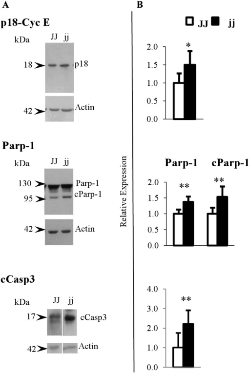 Representative Western blot and protein relative expression of p18-Cyclin E, Parp-1, cParp-1 and cCasp3.A) Representative Western blot, and B) protein relative quantification. cParp-1: cleaved Parp-1. cCasp3: active caspase3 □ Normal homozygous JJ and ■ Hyperbilirubinemic homozygous jj Gunn rat. Data are expressed as mean ± SD. Statistical significance: * p < 0.05, ** p < 0.01.