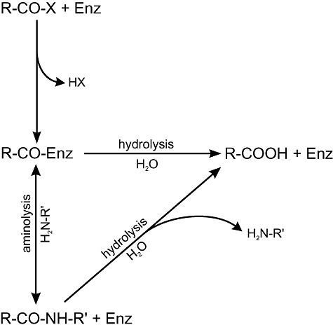 Schematic reaction in kinetically controlled peptide synthesis. An acylated enzyme intermediate (R‐CO‐Enz) reacts either with water (hydrolysis) or with another amino acid (aminolysis). Adapted from Bordusa (2002).
