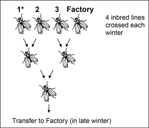The 4-way crossing scheme to produce an outbred Factory strain [9]. Three domesticated (inbred) strains are maintained in the Factory and crossed following the illustrated scheme with the fourth strain coming from the mass-reared flies. Genetic markers can be incorporated via one of the inbred strains (1*). If the marker is mitochondrial DNA, then 1* must be all female and in the second generation cross the females must be the daughters of the marked females in generation 1.