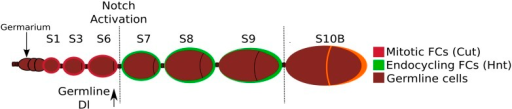 A schematic depiction of the early stages of Drosophila oogenesis.Oogenesis begins in the germarium, where germline stem cells divide four times, producing a 16-cell germline cyst which is encapsulated by somatic follicle cells (FCs). When the FCs complete encapsulation and bud from the germarium, this is termed a stage 1 egg chamber. The egg chamber then grows and the FCs undergo mitosis until stage 6, and during these stages Cut is expressed and cells remain diploid. At stage 5, Dl is strongly upregulated in the germline. The transition from stage 6 to stage 7 is defined by activation of Notch, upregulation of Hnt, repression of Cut, and the endocycling of the FCs.DOI:http://dx.doi.org/10.7554/eLife.04415.004