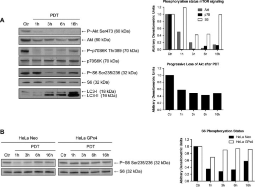 Rapid inhibition of Akt-mTOR pathway after PDT. All controls represent incubation with hypericin without irradiation. (A) Analysis of the Akt-mTOR pathway activation-status in MEF as a function of time after PDT. Left: representative Western blot analysis indicating phosphorylated and total levels of Akt, p70S6Kinase and S6 ribosomal protein and LC3 conversion after PDT (n= 3). Right: Densitometric quantification of the corresponding Western blot analysis on the left. (B) Left: Representative Western blot analysis of the activation status of S6 ribosomal protein in HeLa Neo or HeLa GPx4 cells following PDT (n= 3). Right: Densitometric quantification of the corresponding Western blot analysis on the left. Arbitrary densitometric units represent phosphorylation relative to the expression level and normalized to the control condition (A upper graph and B) or expression level of Akt normalized to the expression level of control (A lower graph).
