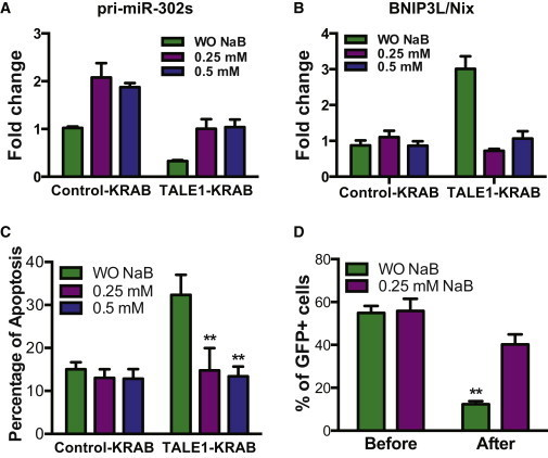 Butyrate Alleviates Apoptosis from hESC Induced by Knockdown of miR-302/367 Cluster(A) qPCR analysis of pri-miR-302/367 transcripts in hESCs expressing control-KRAB- and TALE1-KRAB treated with or without butyrate (0.25, 0.5 mM) for 72 hr. Data are represented as mean ± SD of technical replicates (n = 3). See also Figure S5.(B) qPCR analysis of BNIP3L/Nix transcripts in hESCs expressing control-KRAB- and TALE1-KRAB treated with or without butyrate (0.25, 0.5 mM) for 72 hr. Data are represented as mean ± SD of technical replicates (n = 3).(C) Effect of butyrate on apoptosis induced by knockdown of miR-302/367 cluster. hESCs expressing control-KRAB or TALE1-KRAB-hESCs were treated with or without butyrate (0.25, 0.5 mM) for 72 hr and then assessed by flow cytometric analysis after staining with Annexin V-APC. Data are represented as mean ± SD of three independent experiments (∗∗p < 0.01).(D) Effects of butyrate on growth of hESCs with knockdown of miR-302/367 cluster. hESCs stably expressing TALE1-KRAB were culture in medium with or without butyrate and percentage of GFP+ cells were analyzed by flow cytometry. Data are represented as mean ± SD of three independent experiments (∗∗p < 0.01).