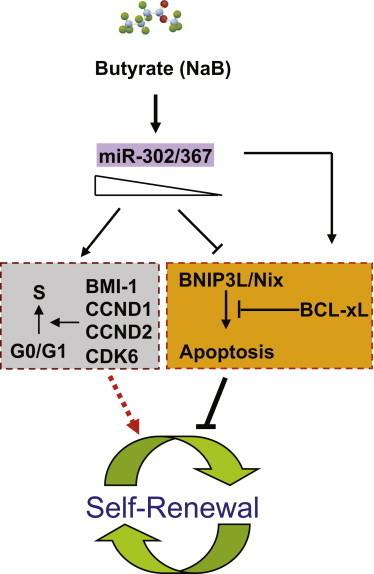A Model for Action of miR-302/367 Cluster in Regulation of Cell Cycle and Apoptosis in hESCsmiR-302/367 cluster is inducible by sodium butyrate in hESCs, and it is required to sustain expression of key cell cycle regulators such as BMI-1, CCND1, CCND2, and CDK6. At the same time, a minimum level of miR-302/367 cluster is needed to inhibit spontaneous apoptosis in hESCs by modulates expression of BCL-xL and BH3-only proapoptotic factor BNIP3L/Nix.