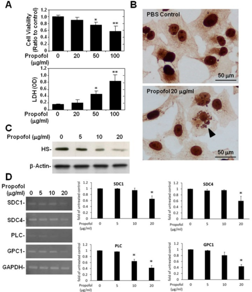 Propofol overdose effect on the relative expression of SDC-1, SDC4, PLC and GPC-1 mRNA and on HS expression in HMEC-1 cells treated with or without propofol for 24 h. (A) Cell viability was measured using an MTT assay and cytotoxicity using an LDH assay; (B) Endothelial HS expression was detected using immunocytochemical (ICC) staining followed by light microscopy (B, bottom: arrowhead). A micrograph of an apoptotic cell in propofol-treated cells is shown; (C) Endothelial HS expression was detected using Western blotting; (D) The relative expression levels of SDC-1, SDC4, PLC and GPC-1 mRNA in HMEC-1 were detected using RT-PCR. For the MTT assay and RT-PCR, the ratios to the untreated control are shown (means ± standard deviation of triplicate cultures). * p < 0.05, ** p < 0.01 compared with the control group. LDH assay data are shown as OD values (means ± SD of triplicate cultures). * p < 0.05, ** p < 0.01 compared with the untreated group.