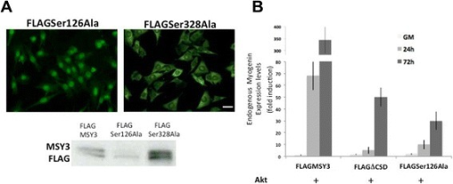 Disruption of Akt substrate Ser126 alters MSY3 nuclear/cytoplasmatic trafficking and function in myogenic cells. a Top: FLAG expression in C2C12 myoblasts transiently transfected with FLAG-tagged MSY3 proteins mutated at Ser126 (FLAGSer126Ala) and at Ser 328 (FLAGSer328Ala). Scale bar = 150 μm. Bottom: Western blot with anti-FLAG Ab of protein extracts of C2C12 transiently transfected with FLAG-tagged MSY3 protein (FLAGMSY3), FLAGSer126Ala and FLAGSer328Ala. b Measurements of myogenin expression by qRT-PCR in myrsAkt transfected C2C12 multiclones expressing FLAG MSY3, FLAGΔCSD, and FLAGSer126Ala transfected with myristoylated Akt (Akt) in proliferation medium (GM) or upon different times cultured in differentiation medium (24–72 h DM). GAPDH was used to normalize expression levels