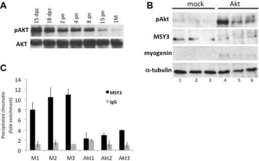 Forced phosphorylation of MSY3 in skeletal muscle tissue abolishes its binding activity at the myogenin promoter. a Western blot with anti-phospho and anti-total Akt of protein extracts of limb and TA muscle isolated at different developmental stages, fetal (dpc), and post-natal days (pn) and mature 1 month (1 M). b Western blot with anti-MSY3 Ab (ZONAB), anti-phospho-Akt, and anti-myogenin of protein extracts of TA muscle, electroporated with a mock expression plasmid pcDNA3 (mock) and with myristoylated Akt (Akt). Three replicates from three independent electroporations are shown in lanes 1, 2, 3 and lanes 5, 6, 7. Normalizer is α-tubulin. c Chromatin immunoprecipitation (ChIP) analysis for control IgG and MSY3 antibodies used individually to enrich fixed chromatin from TA electroporated with a mock expression plasmid (M) and with myristoylated Akt (Akt). Replicates from three independent electroporations are shown for mock plasmid electroporation (M1, M2, M3) and for myristoylated Akt (Akt1, Akt2, Akt3). qRT-PCR is used to quantify sequences from the myogenin promoter