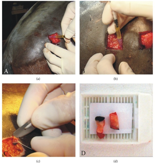 Administration of 0.5 mL leukocyte-poor platelet-rich plasma on the wound edges, using a 24-gauge needle (a, b). Skin sample collection using a scalpel and a needle, after cutting with a 6 mm diameter Punch (c). The obtained fragments were immediately placed on histology cassettes (d) and fixed in 10% formalin.