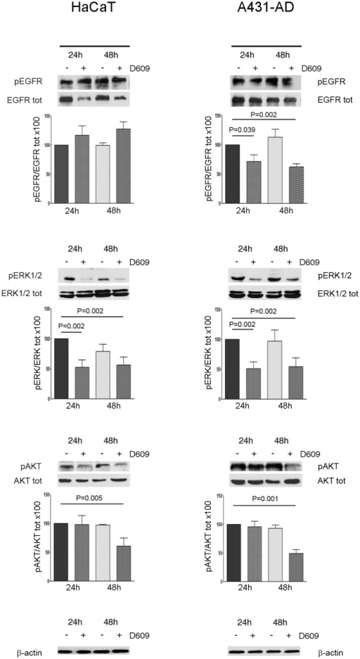 Effects of PC-PLC inhibition on EGFR, ERK and AKT phosphorylation in the HaCat and A431-AD cells.Representative Western blot analyses of total cell lysates from HaCaT (left panels) and A431-AD (right panels) cells cultured in the presence or absence of 50 μg/ml of D609. Cell lysates were immunoblotted with the following antibodies: pEGFR (Tyr1068), EGFR, pERK1/2 (Thr202/Tyr204), ERK 1/2, pAKT (Ser473), AKT and β-actin. β-actin was used as a quantitative loading control. Histograms below each panel represent the relative optical densities of phospho-protein levels normalized to the total protein level (mean values ± SD of three independent experiments) and are presented relative to the untreated sample at 24h. Statistical analyses were performed between treated samples (24h and 48 h) and untreated control sample at 24h, using the t-test.