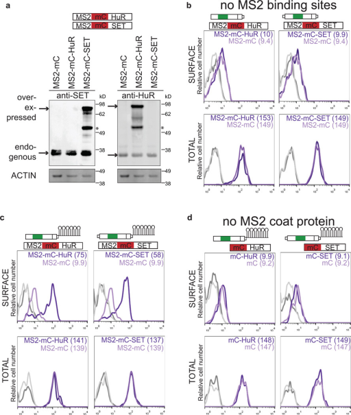 Local recruitment of SET to the site of translation is required for UDPL(A) Western blot of cells used in Fig. 3b shows the amount of overexpression achieved by transfection of MS2-mC-SET or MS2-mC-HuR [constructs, see (b)]. Left, anti-SET detects endogenous expression of SET as well as overexpressed SET. Right, anti-HuR detects endogenous HuR and overexpressed HuR. Actin was used as loading control. Anti-HuR and anti-SET were used on the same blot. Actin as loading control was performed once. The marker is shown in kD. Asterisk indicates unspecific band. mC, mCherry.(B) The top construct depicts GFP-TM-SU (Fig. 1e) and the bottom construct shows a fusion of MS2 coat protein (MS2), mC (red) and HuR or SET, respectively. Overexpression of HuR or SET compared with expression of MS2-mC alone does not change surface or total GFP expression, when co-transfected with GFP-TM-SU (without the addition of MS2-binding sites to the SU isoform) as shown by FACS analysis. Surface expression (top) and total expression (bottom) in HEK293 cells are shown. Values for MFI are shown in parentheses. Unstained cells are shown in grey. Representative histograms from n = 2 experiments are shown.(C) FACS analysis of cells used in Fig. 3b. MS2-binding sites (MS2-BS, RNA stem loops) were added to GFP-TM-SU (and the proximal polyadenylation signal was mutated) to obtain GFP-TM-SU-MS2-BS. Transfection of MS2-mC-HuR (left, dark purple line) or MS2-mC-SET (right, dark purple line) increases surface GFP expression compared with transfection of MS2-mC (light purple line), when GFP-TM-SU-MS2-BS is co-transfected. Thus, tethering of HuR or SET to the short 3'UTR of GFP-TM localizes GFP to the cell surface without changing total GFP expression. Histograms are shown as in (b). Representative histograms from n = 5 experiments are shown.(D) As in (c), but tethering was impaired by omission of the MS2 coat protein. Histograms are shown as in (b). Representative histograms from n = 2 experiments are shown.Summary of the tethering experiment: To tether SET or HuR to the 3'UTR (which brings it close to the site of translation through the scaffold function of the 3'UTR), we added MS2-binding sites (MS2-BS) to GFP-TM-SU (c). MS2-binding sites are derived from the bacteriophage MS2 and form RNA stem loops. The capsid protein of MS2 (here, called MS2) specifically recognizes these MS2 stem loops. Constructs were generated containing MS2 fused to mC and then either HuR, SET or with no further coding sequence (Fig. 3c). Co-expression of these constructs with the construct containing the short UTR and MS2-binding sites results in recruitment of SET or HuR to the short 3'UTR of GFP-TM. The cells that express MS2 fused to only mC localize GFP to the endoplasmic reticulum, but constructs containing MS2 fusions to HuR or SET localize GFP primarily to the cell surface (Fig. 3b and Extended Data Fig. 5c). Omitting either the MS2 or MS2-binding sites from the experiment abrogates surface localization (Extended Data Fig. 5b, d).