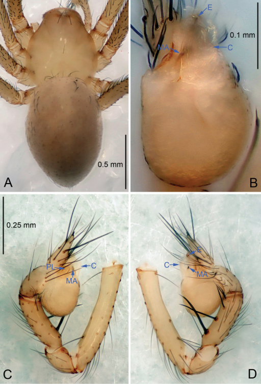 Leptonetelapenevi sp. n., holotype male. A Habitus, dorsal view B Palpal bulb, ventral view C Palp, prolateral view D Palp, retrolateral view.