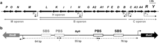 Transcriptional arrangement of the thn operons with all detected operons (a) and a schematic zoom of the intergenic thnBC region showing the ThnR primary and secondary binding sites at each promoter region, and the BglII restriction site used for isolation of each promoter region for independent transcription analysis (b).