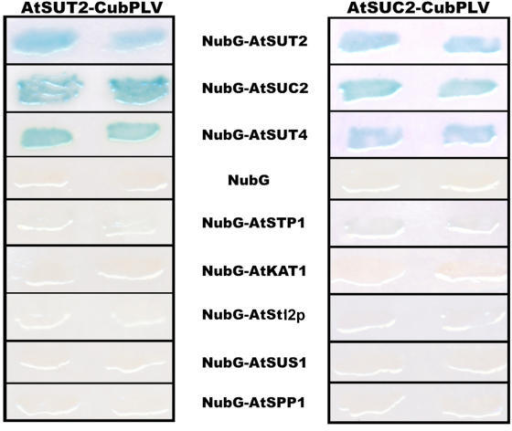 Interactions of SUT2 and SUC2 as baits with other sucrose transporters detected by the split-ubiquitin system using LacZ as a reporter gene. Interaction of SUT2-CubPLV and SUC2-CubPLV as a bait was tested against various NubG-fusions of membrane proteins and soluble proteins as prey. Positive interaction was visualized by β-galactosidase expression in filter assays.