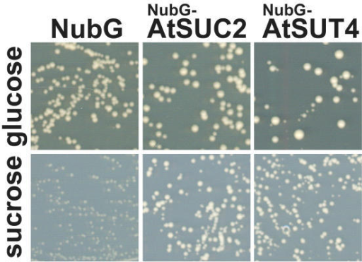 Functionality of NubG-AtSUC2 and NubG-AtSUT4 fusion proteins. Growth of yeast strain SUSY7/ura3 bearing respective fusion proteins or the empty NubG-vector on medium containing 2% glucose or 2% sucrose as the sole carbon source after four days of growth at 28°C.