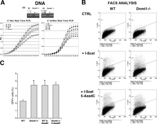 Dnmt1 Inhibits the Expression of Recombinant GFP GenesWild-type or Dnmt1−/− ES cells carrying DR-GFP were transfected with the I-SceI expression vector and PSVbGal, grown 4 d, and analyzed for GFP recombination and expression.(A) Genomic DNA from the two cell lines was PCR-amplified with nonrecombinant (5′-unrec) and recombinant (5′-rec) primers. The specificity of the products and the linearity of the reactions were controlled as described in Materials and Methods. qPCR of the same samples was carried out as described in Materials and Methods.(B) FACS analysis of cells transfected with I-SceI is shown. The gating of GFP+ cells was created to exclude up the 99.5% of wild-type untransfected ES cells. The same gating applied to Dnmt1−/− cells shows a significant increase in the population expressing GFP. Following I-SceI transfection, Dnmt1−/− cells were treated with 5-AzadC as described in Materials and Methods. Treatment with 5-AzadC increased the fraction of cells expressing GFP in wild-type ES but did not enhance the expression of GFP in the Dnmt1−/− cells(C) The histogram showing the fraction of GFP+ cells derived from three experiments is shown. To obtain reliable values of differential GFP fluorescence in ES and Dnmt1−/− cells, we compared the percentage of GFP+ cells, normalized for the transfection efficiency in six experiments (three in duplicate), with the Wilcoxon Kruskal-Wallis Test, *, p < 0.012 versus wild type.