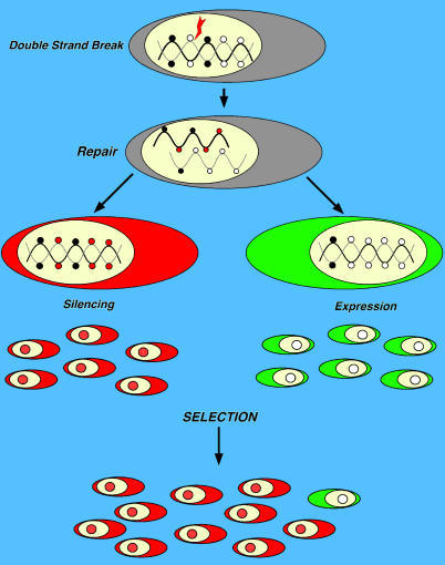 Biological Consequences of Recombination-Induced Methylation SwitchA drawing illustrates the sequence of events leading to silencing or expression of HR DNA segments. Red circles represent de novo methylated CpGs induced by HR. Black circles represent methylated CpGs before HR. Since silencing depends on the location of de novo methylated CpGs and DNA damage is random, HR-induced methylation is also random. If the expression of the repaired gene is harmful, only cells inheriting the silenced copy will survive. Conversely, if the function of the repaired gene is beneficial, cells inheriting the undermethylated copy will have a selective advantage.
