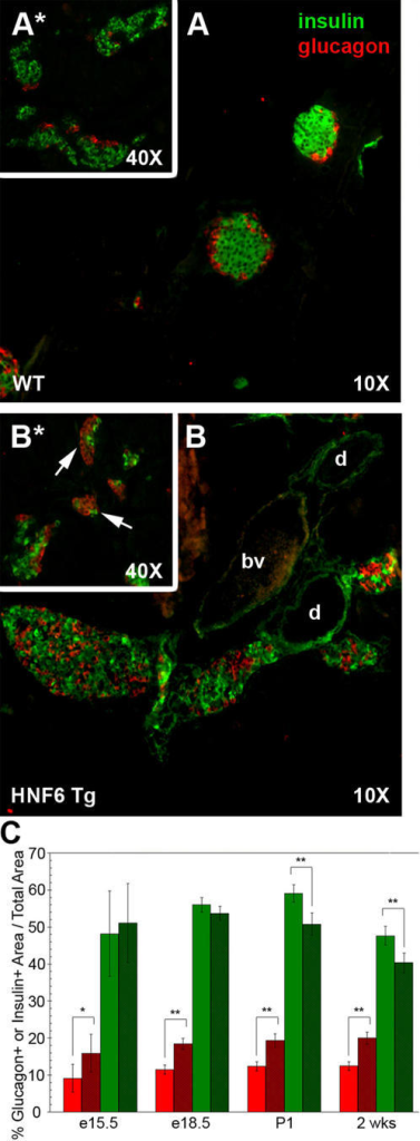 Hnf6 Tg animals exhibit abnormal islet morphogenesis.(A) Islet from a four week old WT animal showing insulin-producing β cells at the islet core (green) and glucagon-producing α cells at the periphery (red). (B) At the same age, individual Hnf6 Tg islets are larger, have a mixed islet phenotype, and are closely apposed to the ductal epithelium. (A*, B*) At e18.5, WT endocrine cells have begun to adopt the stereotypic architecture; however, Hnf6 Tg α cells are often clustered together in islet-like structures that have few, if any, β cells (arrows in B*). (C) Morphometric analysis demonstrates increased glucagon+ cell area (red) as early as e15.5 in Hnf6 Tg islets (dark red). This relative increase over WT islets (solid bars) persists into postnatal stages. Total insulin+ area decreases in transgenic animals (dark green) at postnatal stages, but does not appear to be altered during embryogenesis. e15.5, n = 4; e18.5, n = 4; P1, n = 2; 2 weeks, n = 3. Error bars were determined by 95% confidence interval. *p<0.05, **p<0.005, as determined by Student's t-test. d, duct; bv, blood vessel.