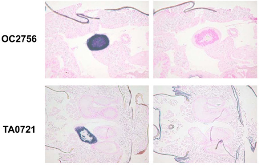 In situ hybridization of EST clone OC2756 (AA0383) in adult female and TA0721 in adult male. Left, anti-sense probe; right, sense probe. Signals were observed in a part of the lateral oviduct (OC2756) and in an accessory gland of the testis (TA0721).